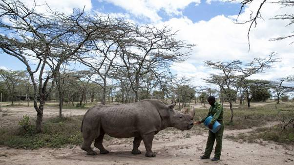 After health scare, world's last male northern white rhino on the mend.  Share this article
