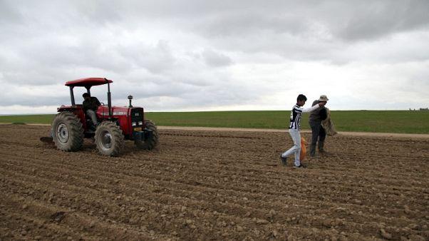 مقابلة-مدير شركة الحبوب العراقية يتوقع زيادة في محصول القمح مع تحسن الطقس