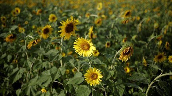 مصر تشتري 29500 طن من زيت دوار الشمس و37 ألفا من زيت الصويا في مناقصة