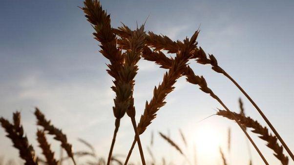 تجار: العراق يطرح مناقصة لشراء 50 ألف طن من القمح