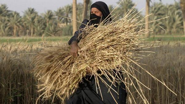 العراق يحدد أسعار شراء القمح المحلي لموسم 2018