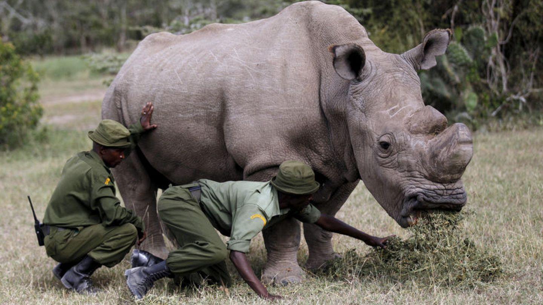 World's last male northern white rhino dies | Euronews