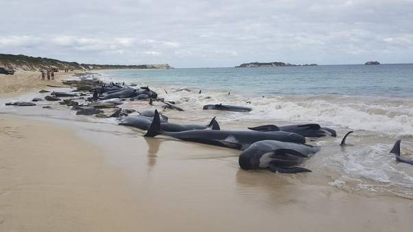 نفوق عدد كبير من الحيتان بعد جنوحها إلى شاطئ في غرب استراليا