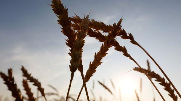مصر تشتري 475 ألف طن من القمح الروسي والروماني في مناقصة دولية