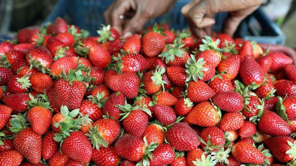 السعودية ترفع الحظر على استيراد الفراولة والفلفل من مصر