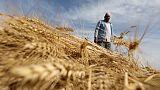 وزارة: مصر تشتري 190 ألف طن من القمح المحلي