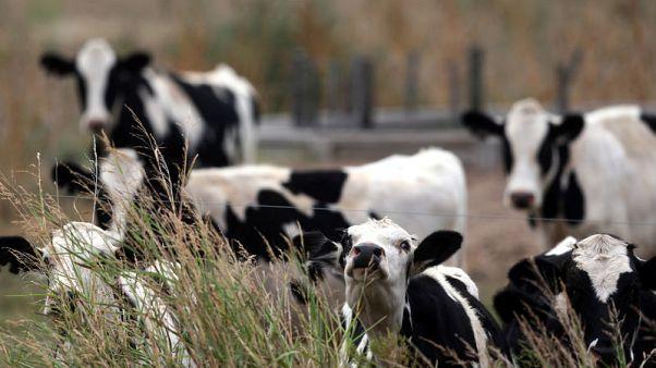 دراسة:الأبقار قد تصبح أكبر الثدييات حجما خلال قرون قليلة