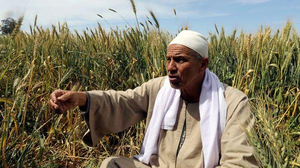 مزارعو الأرز في مصر يتوقعون أوقاتا عصيبة بسبب سد النهضة الإثيوبي
