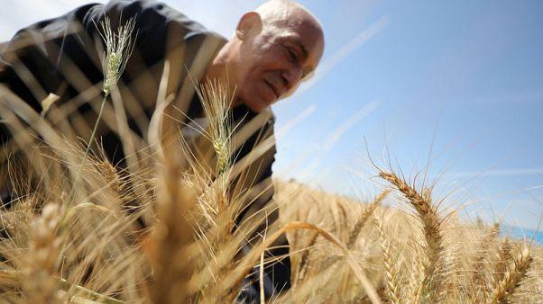 وزير: مصر اشترت 1.8 مليون طن قمح من السوق المحلية