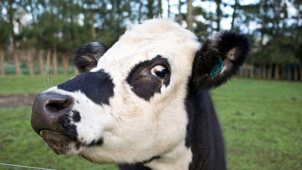 نيوزيلندا تنفق 610 ملايين دولار لاستئصال مرض يصيب الماشية