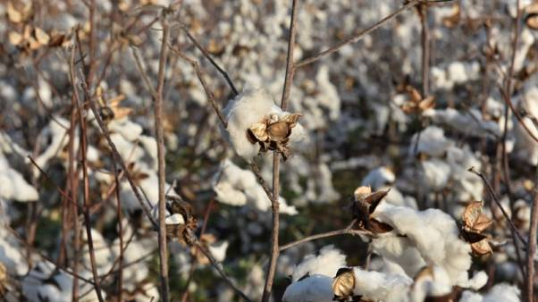 Cotton makes a comeback in U.S. Plains as farmers sour on wheat