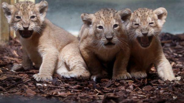 حديقة حيوان فرانكفورت تعرض 3 أشبال توائم للمرة الأولى منذ ولادتها