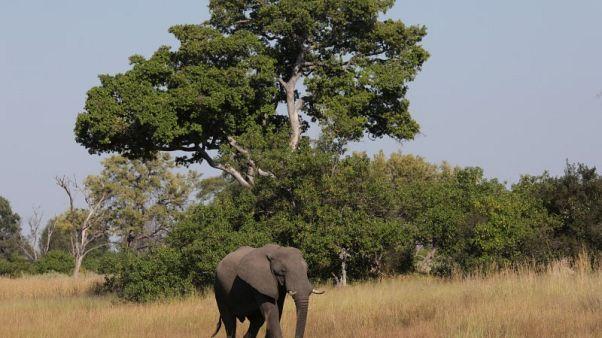 بوتسوانا تستعد لرفع الحظر على صيد الأفيال