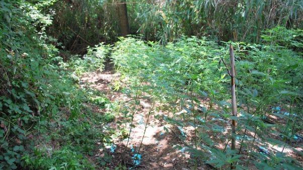 Sgominata cosca dedita coltivare droga