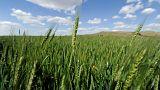 العراق يسعى لشراء 50 ألف طن من القمح في مناقصة