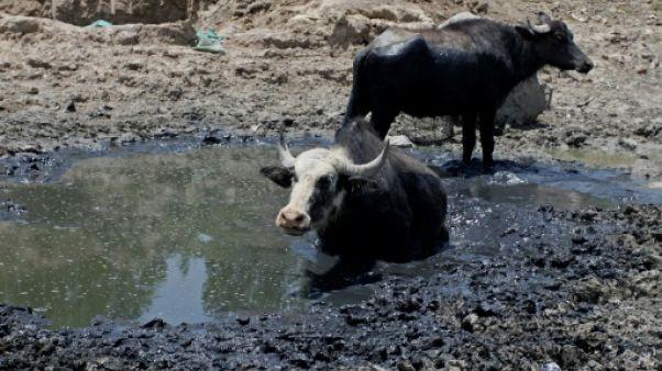 """En Irak, au """"pays des deux fleuves"""", la sécheresse met à l'agonie bovins et éleveurs"""