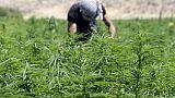 Au Liban, une possible légalisation du cannabis inquiète les producteurs