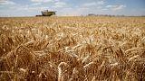 Heatwave ravages European fields, sending wheat prices soaring