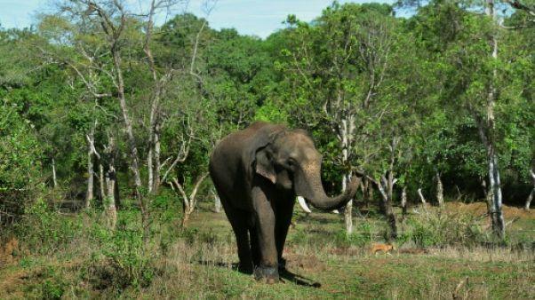 Un éléphant au camp de Dubare, le 11 mai 2018 à Kodagu, en Inde