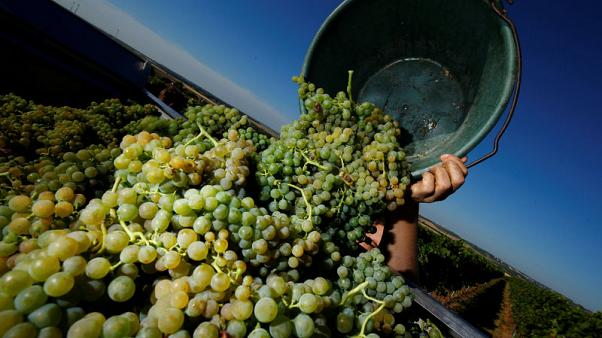 German winegrowers harvesting early due to heatwave