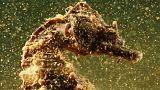 غواص يقود حملة لحماية موقع فريد لحصان البحر باليونان