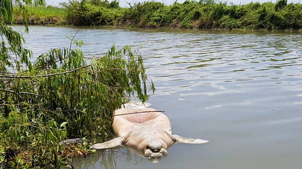 Mysterious manatee deaths in Mexican wetlands spurs quest for answers