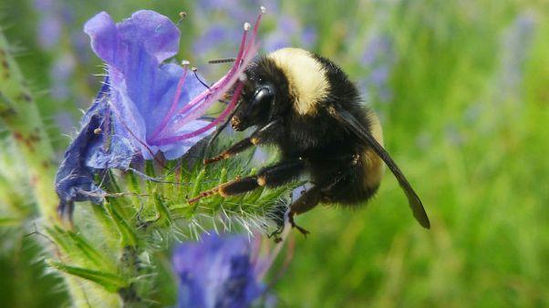 Genome points to inbreeding, disease behind bumblebee decline - research