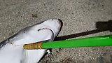 Animali: ambientalisti, squalo ucciso