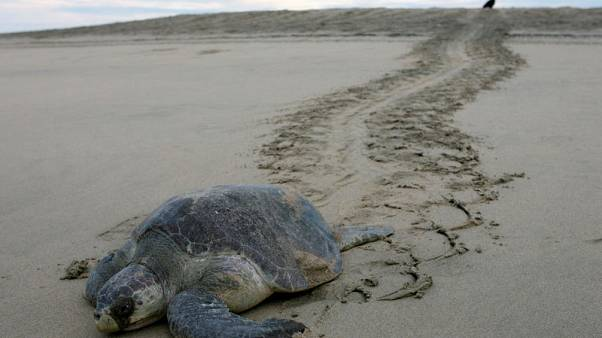 Mexico investigates deaths of over 100 endangered sea turtles