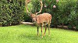 Cervi e daini al golf resort Is Molas