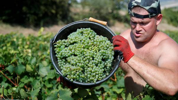 French Champagne makers see stars aligned for record harvest