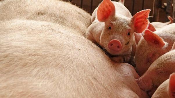 إقليم شاندونغ الصيني يحظر دخول الخنازير الحية من مناطق الإصابة بالحمى الأفريقية