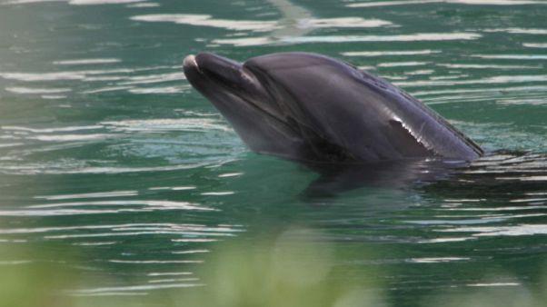 محنة أنثى الدلفين (هني) تثير غضب اليابانيين العاديين والنشطاء