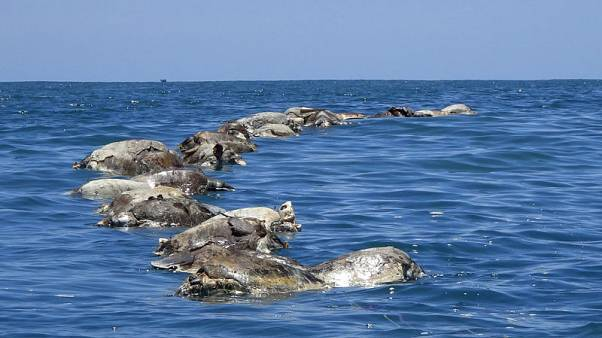 About 300 endangered sea turtles found dead off Mexican coast
