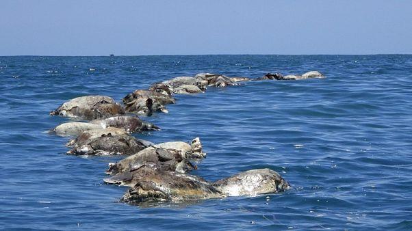 العثور على نحو 300 سلحفاة مهددة بالانقراض نافقة قبالة ساحل المكسيك