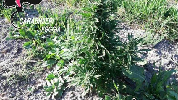 Scoperta piantagione marijuana, arresti
