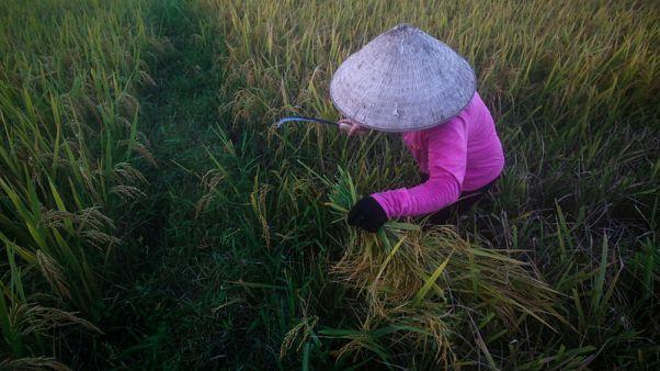 مصر تتفق على استيراد مليون طن من الأرز من فيتنام على مدى 3-4 أشهر