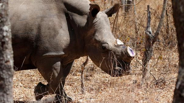 Zimbabwe to donate 10 white rhinos to Congo