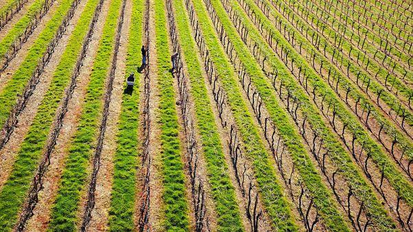 Australia's drought could produce a corker vintage