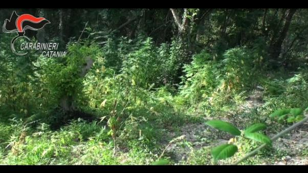 Cc scoprono piantagione, 1.200 kg droga