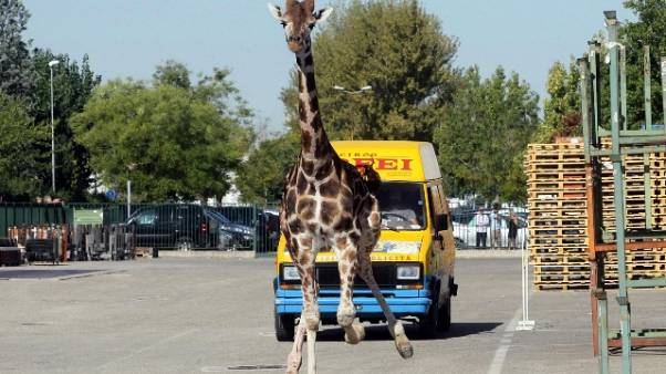 Giraffa morì a Imola, assolto il circo