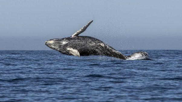 Baleines: la CBI dit non au retour de la chasse, le Japon menace de partir