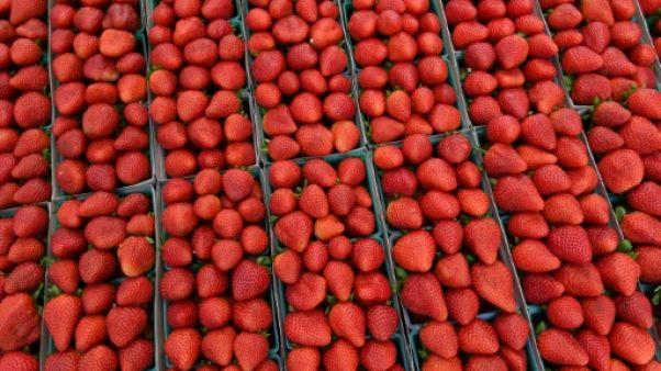 La culture de fraises en Australie menacée par un mystérieux sabotage