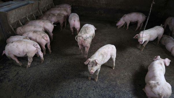 الصين تعلن عن تفش جديد لحمى الخنازير في منطقة منغوليا الداخلية