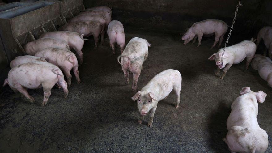 الصين ترصد بؤرة جديدة لحمى الخنازير الأفريقية