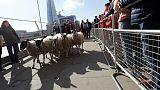 إحياء لتقليد قديم... مقدم برامج تلفزيونية يقود خرافا على جسر لندن