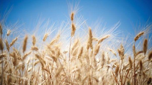فاو: محصول القمح السوري الأدنى في 30 عاما بفعل الحرب والجفاف