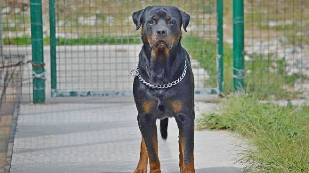 Rottweiler morde bimbo,padrone lo uccide