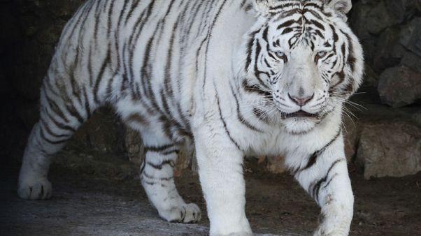 جمعية خيرية تحث الاتحاد الأوروبي على مكافحة تجارة النمور