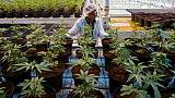 Au Canada, la santé publique à l'épreuve du cannabis légalisé